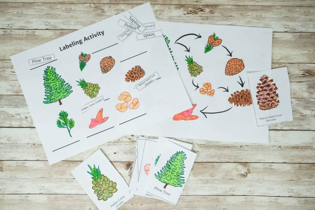 labeling activity for pinecone life cycle printable pdf