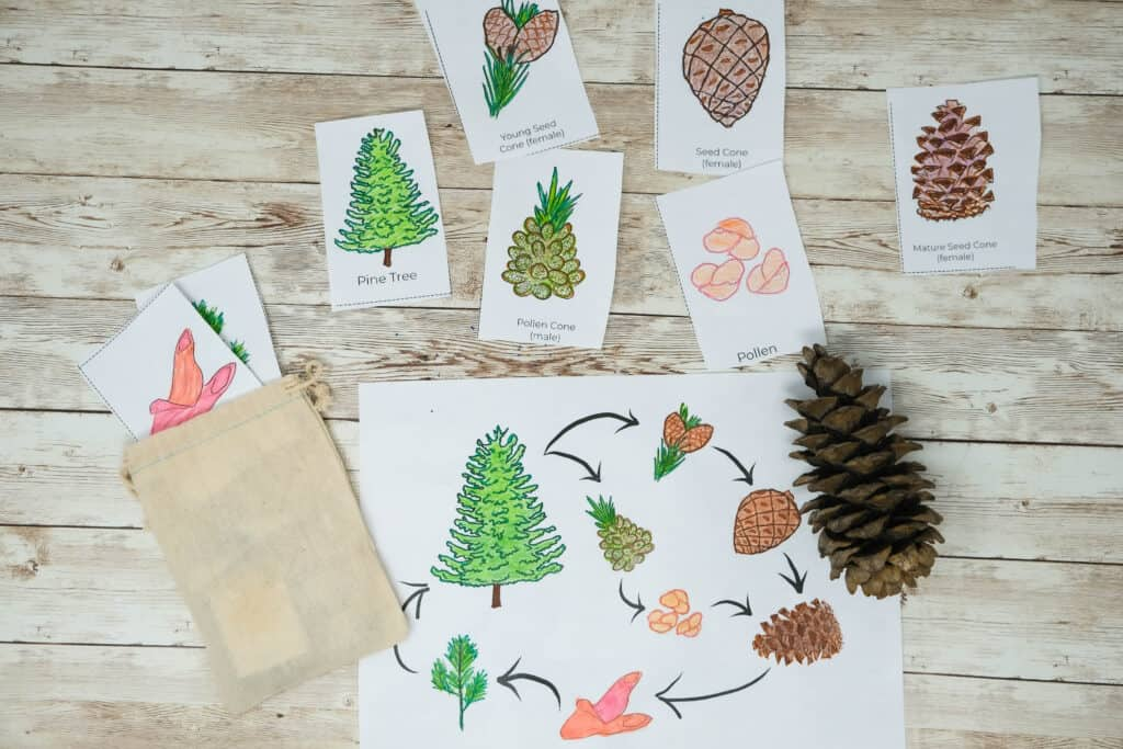how to teach kids life cycle of pinecone with color in matching cards