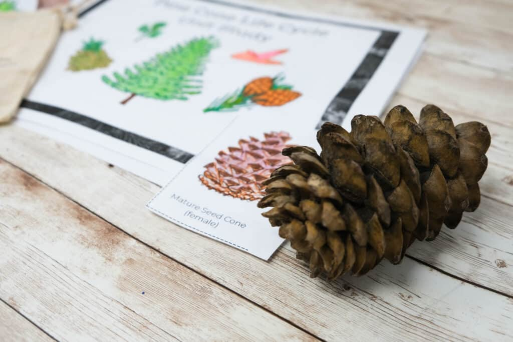 forest school activities finding all stages of pinecone with activity pack