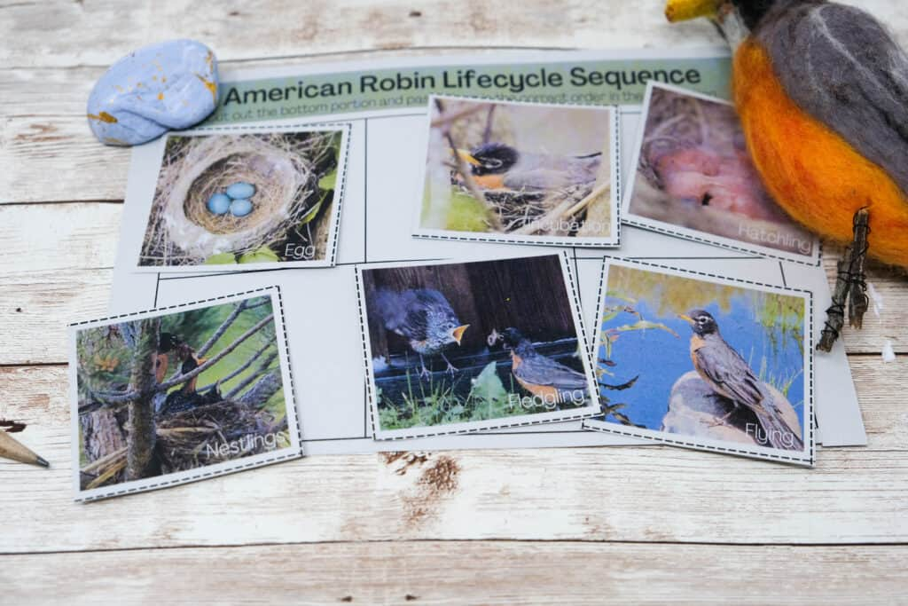 bird lifecycle sequencing printable for american robin